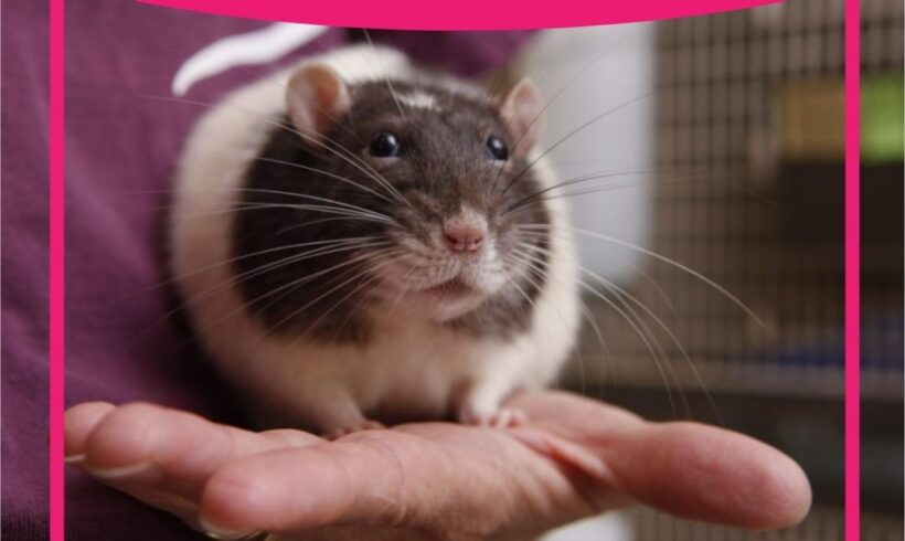 Dicas para ter um roedor como pet de estimação